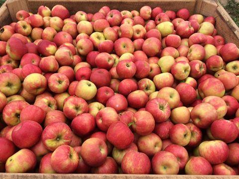 Honeycrisp apples in a bin