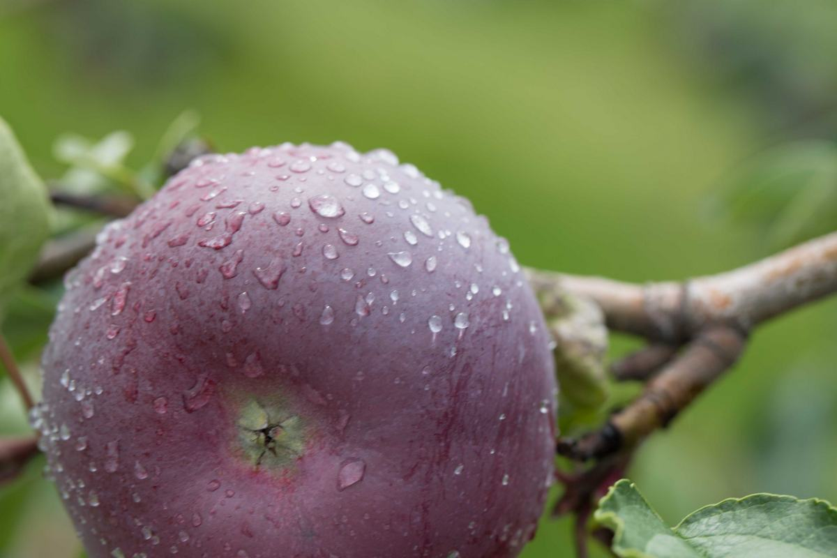McIntosh apple on the tree after rain