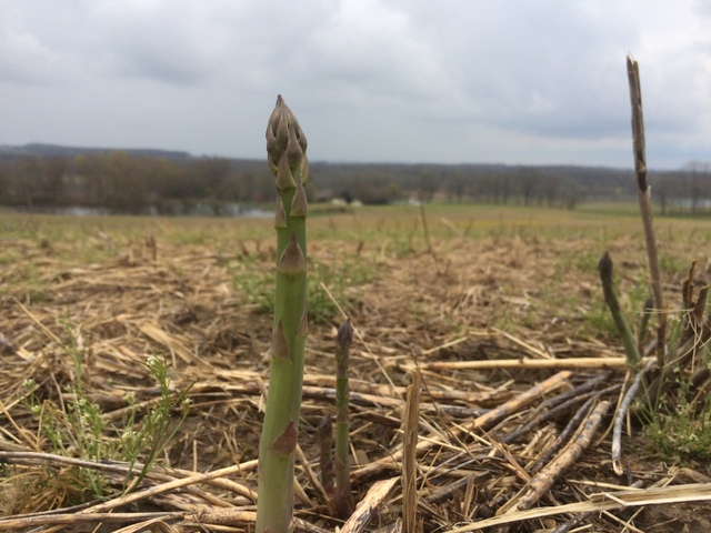 Asparagus, coming up in the field
