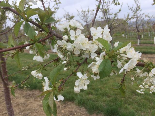 Black Gold cherries in bloom