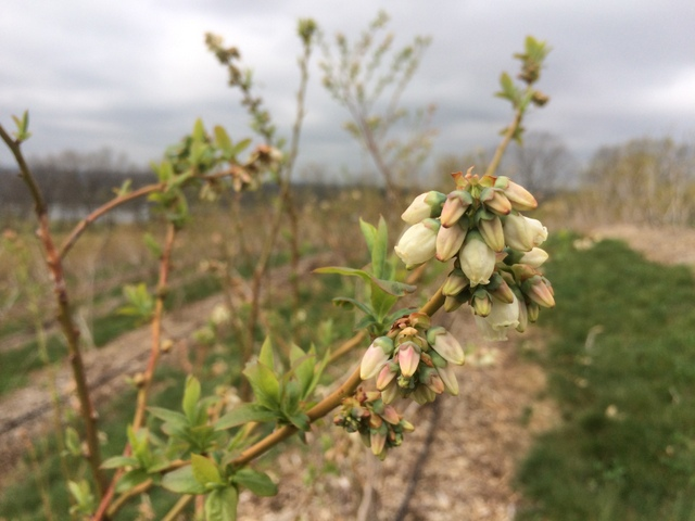 Blossoms on the Bluecrop blueberries