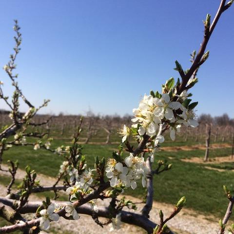 Castleton plum blossoms on April 17