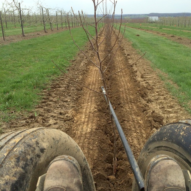 View of the row of trees that have just been planted