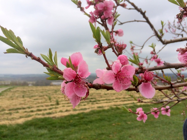 The Glenglo peaches have some of the showiest bloom