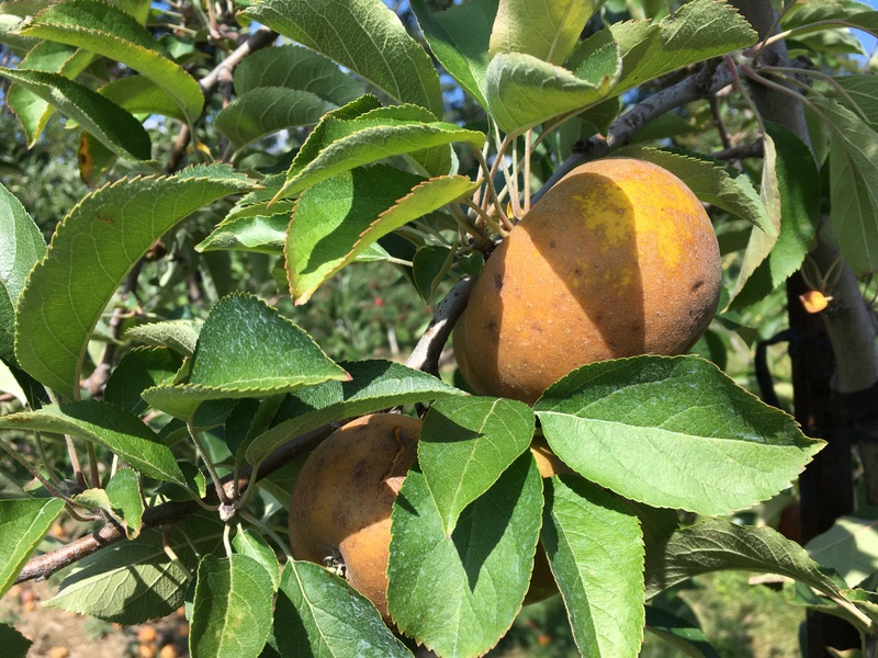 Ashmead's Kernel apples on the tree