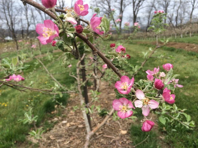 Pink Pearl is our only apple that blooms pink!