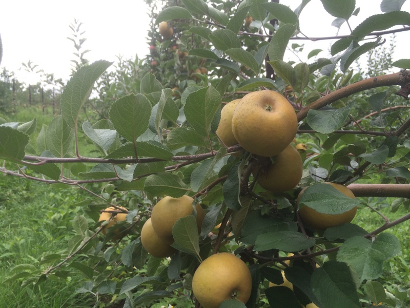 St Edmunds Pippin apples on the tree