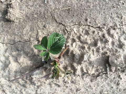 Young strawberry plant coming out of dormancy