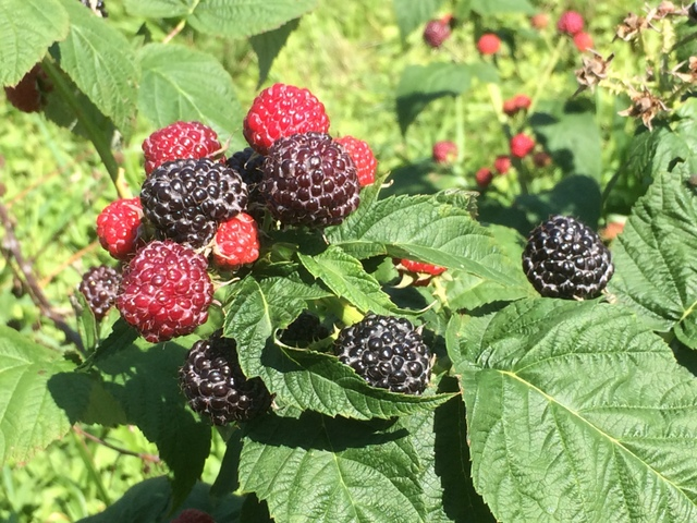 Black raspberries on the cane