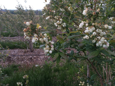 Blueberries in late bloom