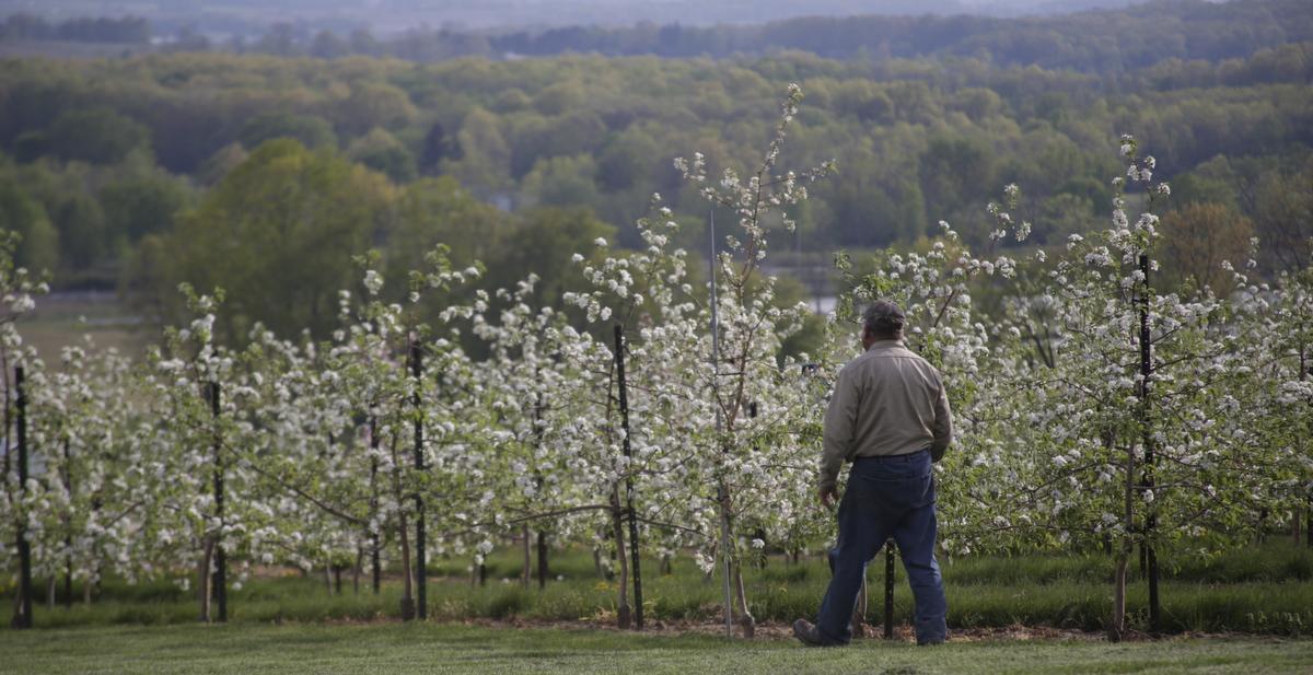 Dale walking down a row of Honeycrisp in bloom