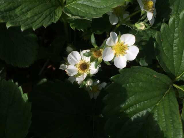 Damaged strawberry blossoms