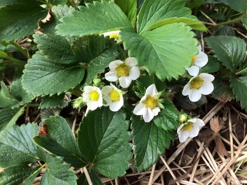 Strawberry plants in bloom