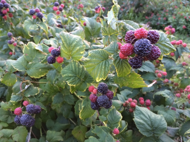 Ripe black raspberries