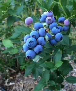 Ripe blueberries