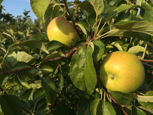 The Honeycrisp are starting to get some good size.  A few weeks yet, until they'll be ripe.