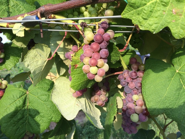 The Mars seedless table grapes are also looking good.