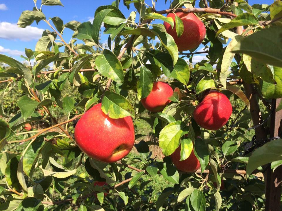 Honeycrisp apples on the tree