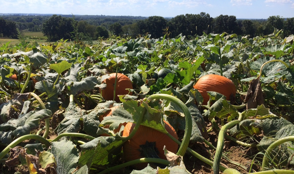 Pumpkins out in the field