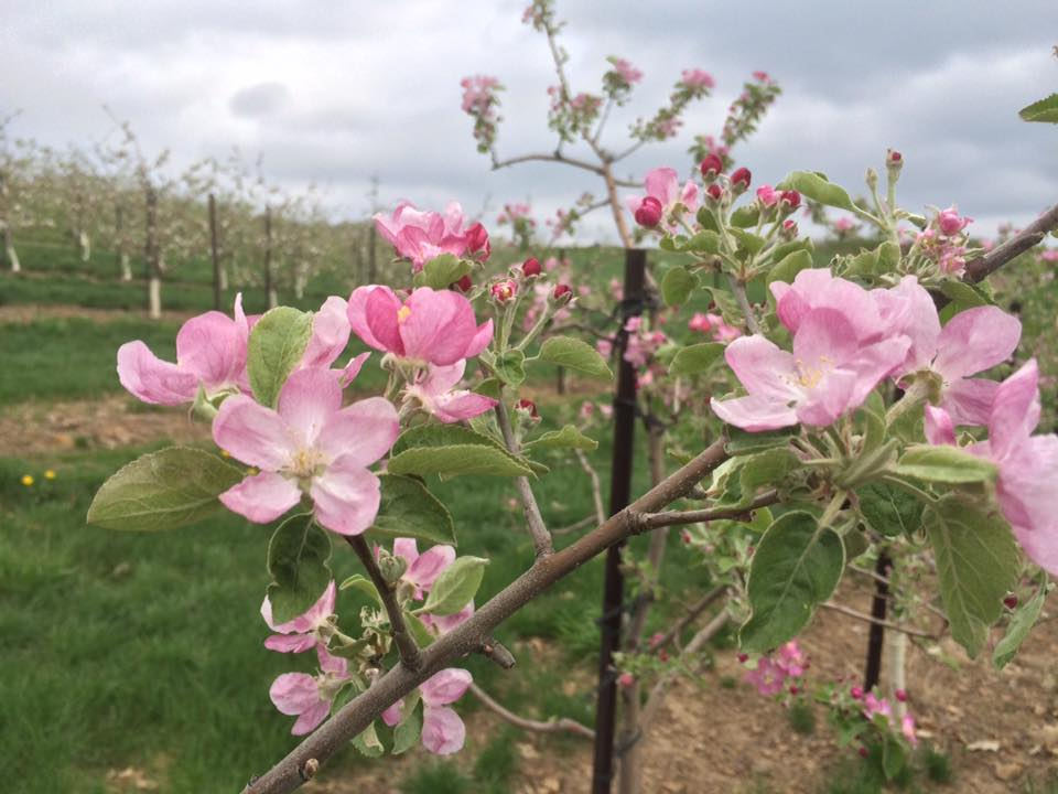 Pink Pearl Apple Trees in Bloom