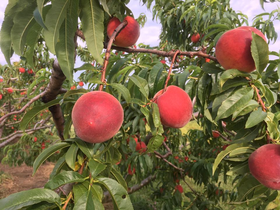 Glenglo peaches on the tree