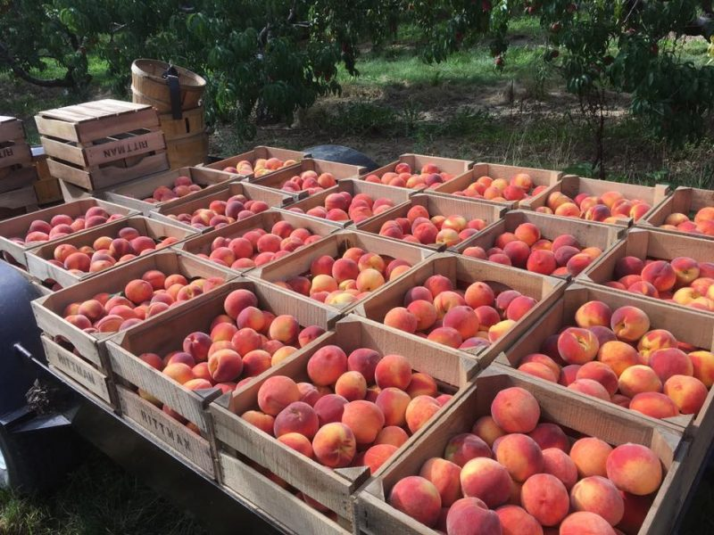 Redhaven peaches sitting on our wagon