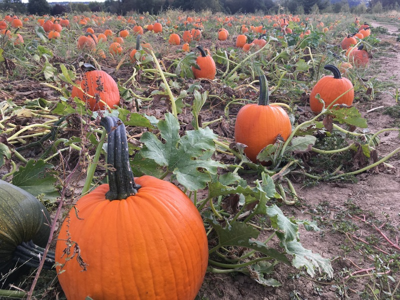 Our pick your own pumpkin patch