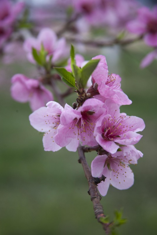 Peach blossoms in the orchard