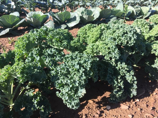 Kale out in the field