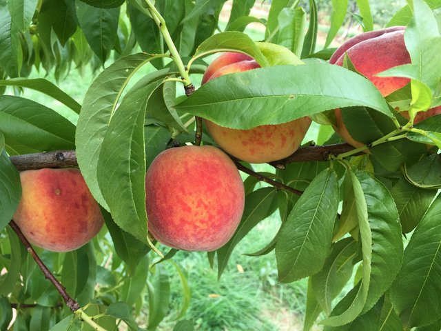 Brightstar peaches on the tree