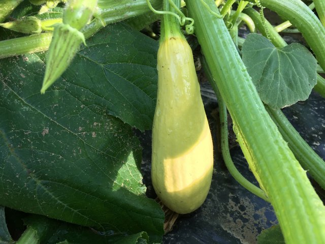 Yellow squash on the plant