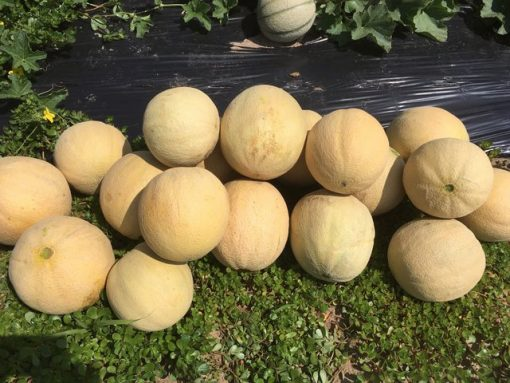 Muskmelons just picked